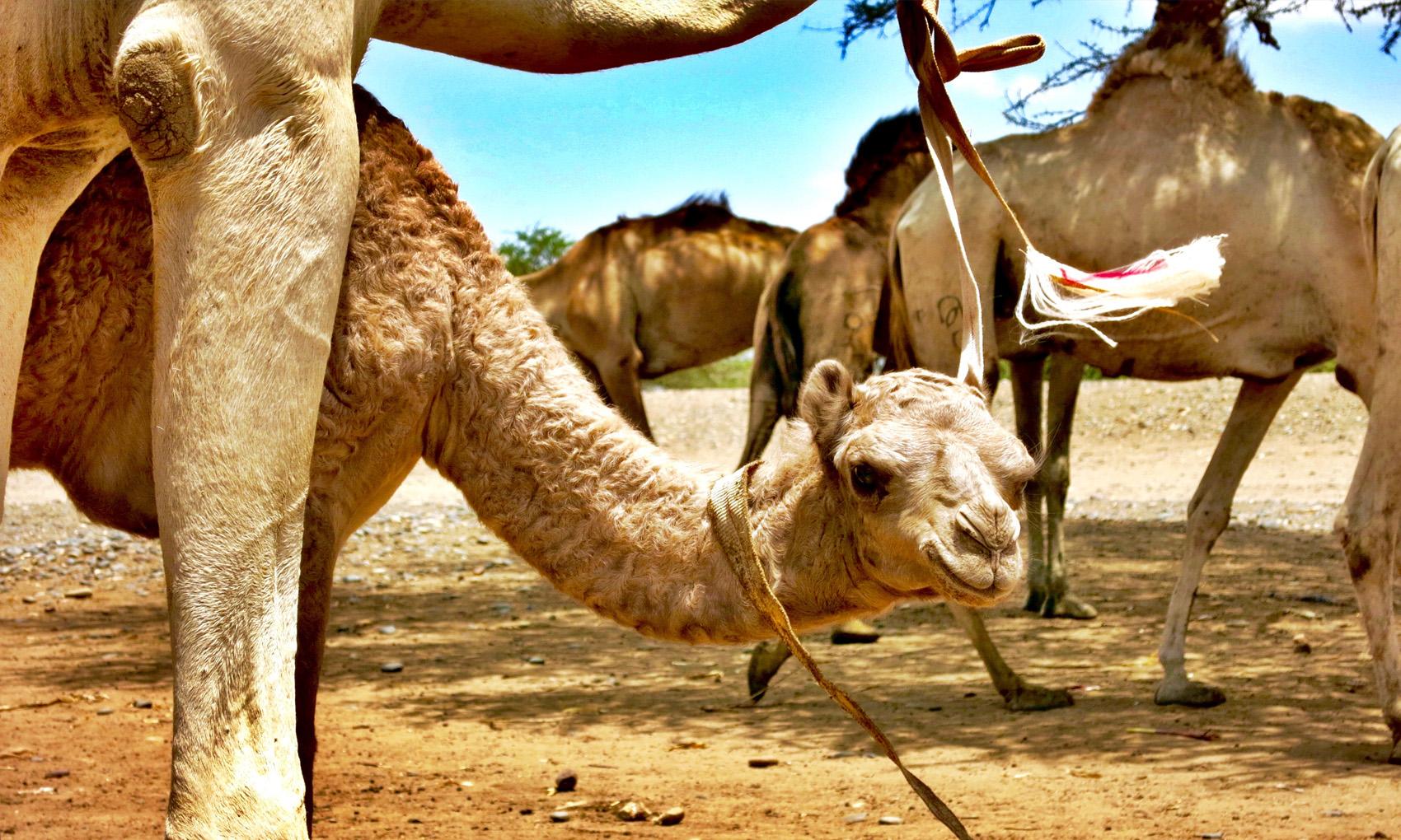 Camel 03